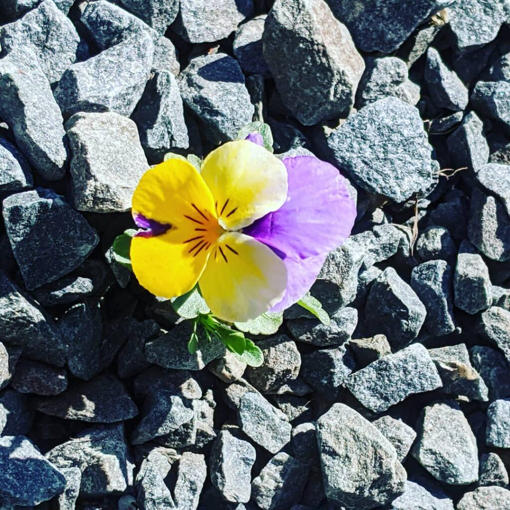 One pansy under the back deck among the crushed stone. The seed fell from last summer's potted plants. A survivor!!!  #jctextileart #pinegrovenovascotia #pansy #pansyflower #earlyflowers #flowers🌸 #flowersofinstagram