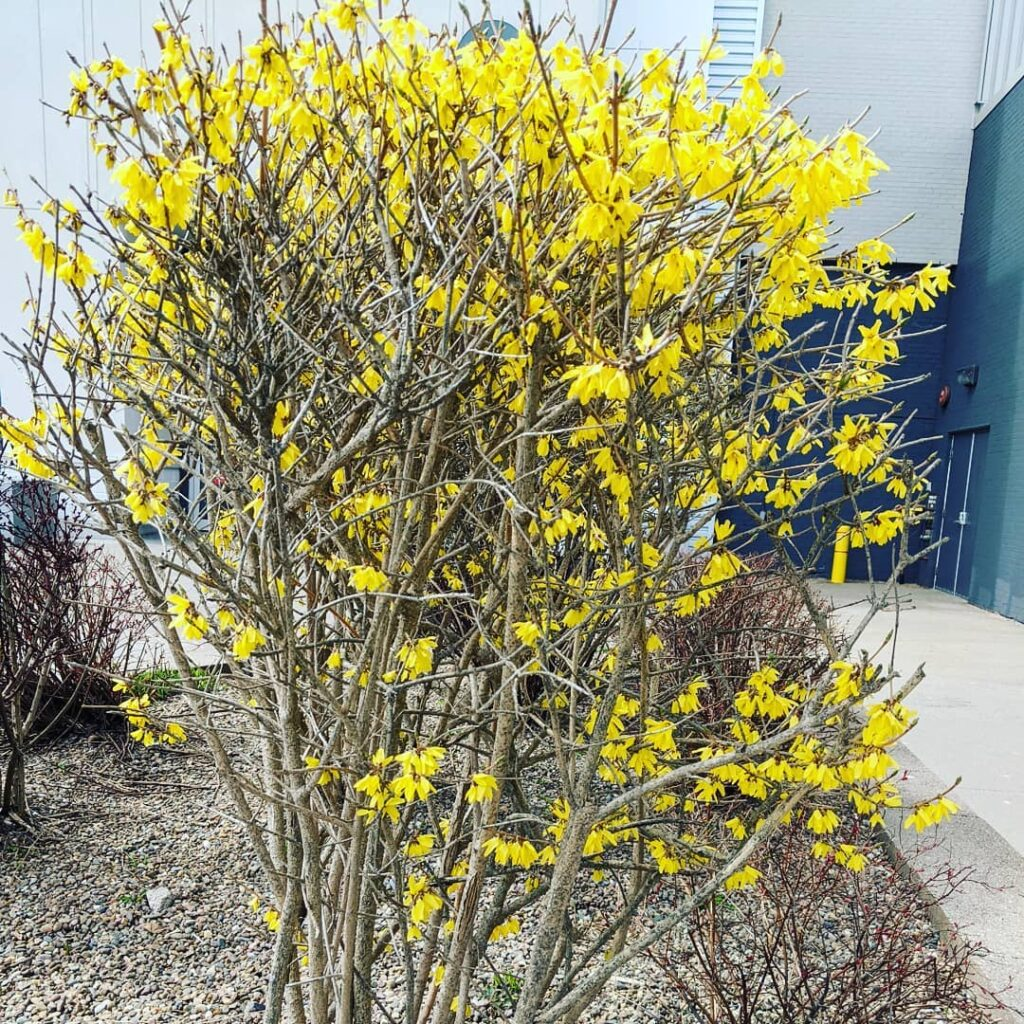 Looks a bit like spring here in Halifax! This forsythia is in full bloom. We got our vaccinations this morning in Bedford. There were no appointments left in Bridgewater. We get the second one in July. This has been a happy day. #jctextileart #pinegrovenovascotia #bedfordns #covidvacccine #vaccinated #spring #forsythia #happyday #bridgewaterns