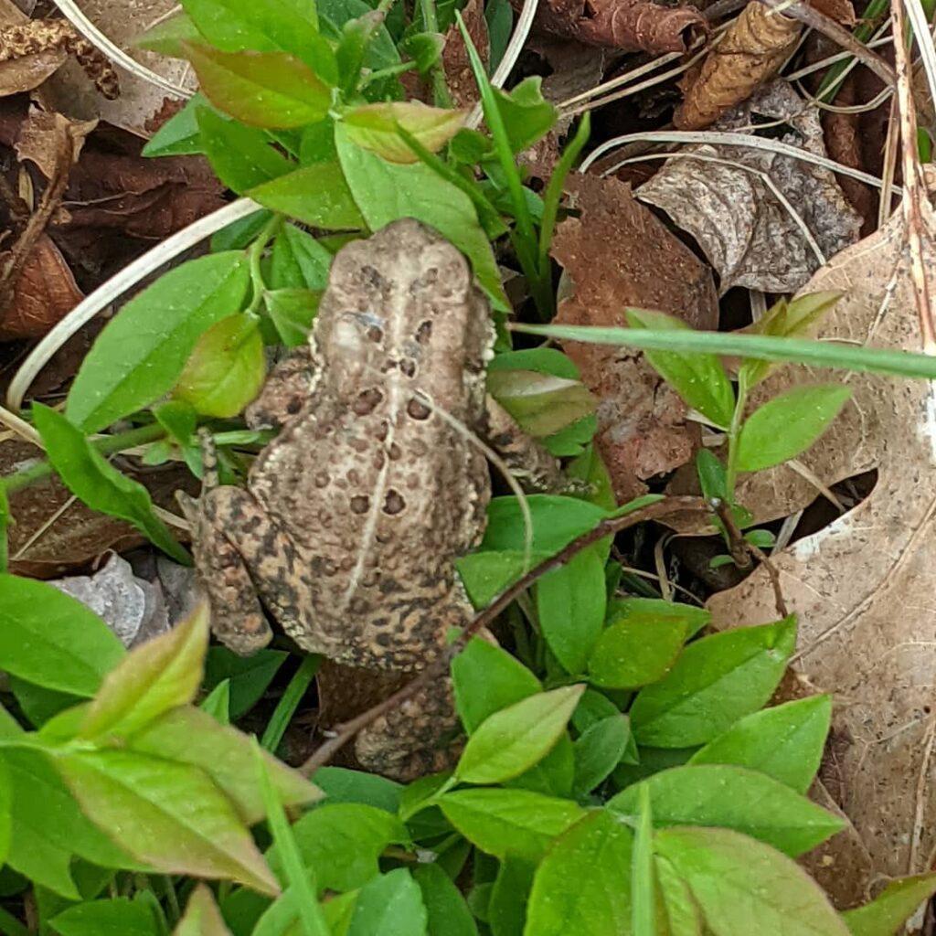 A tiny visitor!  #jctextileart #pinegrovenovascotia #toad #gardening #tinyvisitor #latespring #wildlife #nature