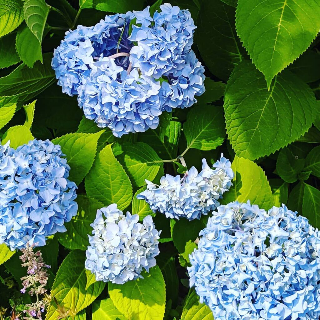 The hydrangeas were in full bloom in Mahone Bay yesterday. A gorgeous day for a walk around town. My sister-in-law and I had a wonderful afternoon.  #hydrangea #mahonebaynovascotia #sundayafternoon #jctextileart #pinegrovenovascotia #summerbloom #walkaroundthebay