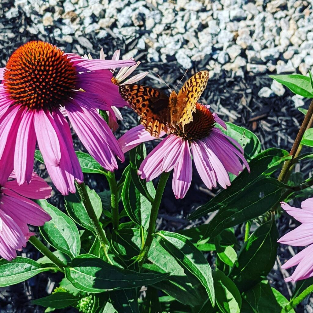 This butterfly spent most of the day on the cone flowers. A bumblebee kept it company for a good part of the day.  #butterfly #bumblebee #coneflower #pinegrovenovascotia #pinegrove #novascotiaart #summerblooms #gardening #gardeningfun #jctextileart #summertime #heatalert
